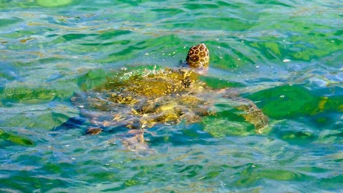 An endangered sea turtle of Hawaii. Photo Credit: Angela Daun