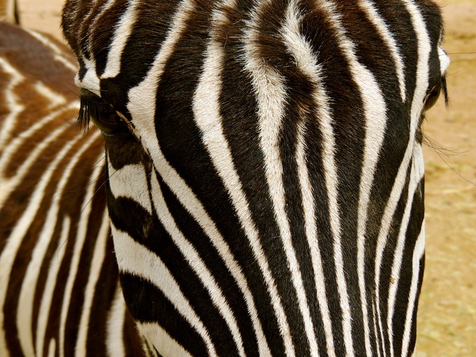 Several species of Zebras are endangered from hunting, competition from livestock and environmental hazards.  Photo Credit: Angela Daun