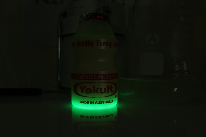 Glowing Yakult cells settled at the bottom of the jar (We genetically engineered the strain that normally lives in yakult with GlowGene)