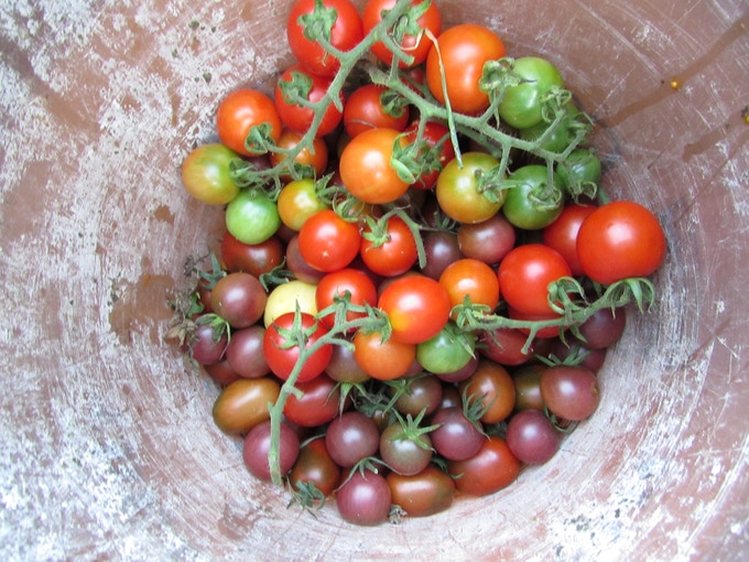 Heirloom Tomatoes from Lisa Ringer of Two Pony Gardens