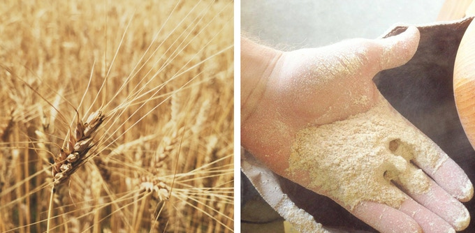 Warthog wheat in the field (left) and milled (right) at Breakneck Acres Farm in Ravenna