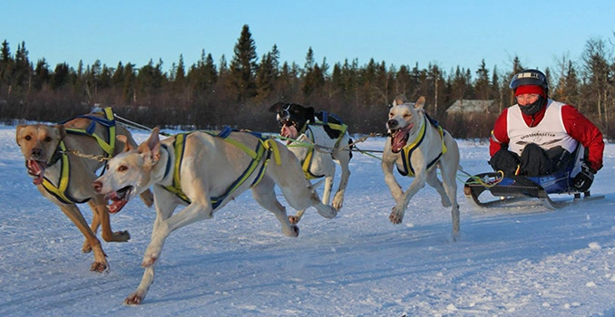 Adaptive musher Taina Teräs from Kiruna, Sweden with four of her 'Eurohound' hybrid sled dogs pulling her home-made adaptive sled.