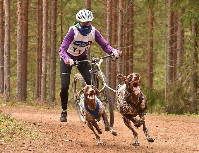 World Champion Solveig Aaseby (pictured racing on Oct 11th, 2015) of Norway breeds and races extremely successful lines of pure German Shorthaired Pointers. Solveig's daughter Eira Aaseby is one of Europe's most promising junior mushers.
