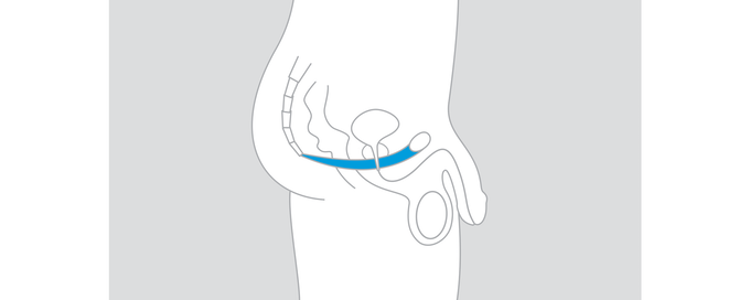 Pelvic floor muscles (blue) play a key role in sexual function, bladder control and core strength.