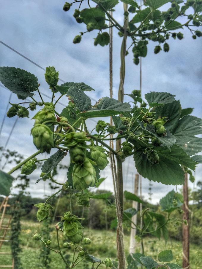At our hop farm near Hallock, MN