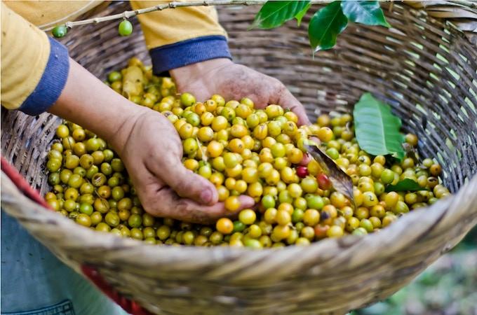 COFFEE HARVEST - NICARAGUA'S #1 EXPORT