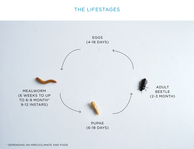 The life of a happy mealworm!