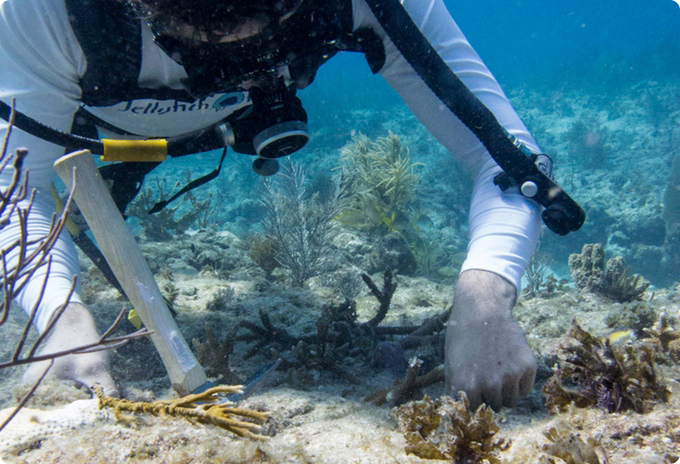 Here we are restoring young staghorn coral on a nearby reef