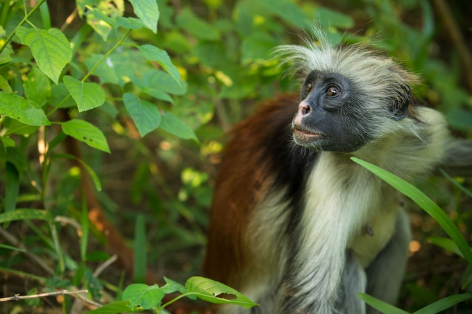 Endangered Red Colobus Monkey, Zanzibar // Photo by Aly Nicklas