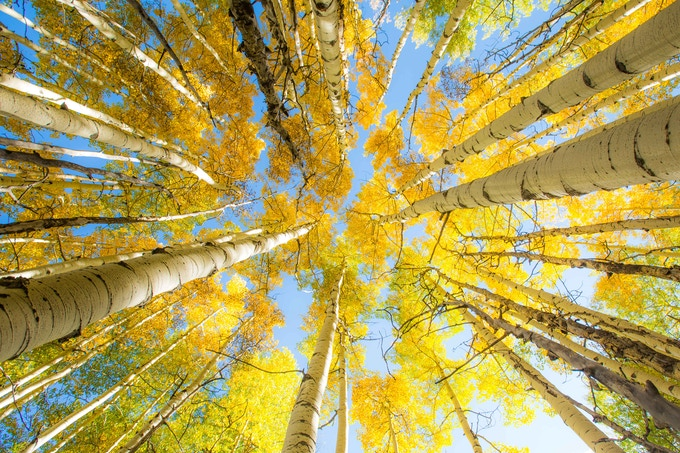 Aspens in Crested Butte, CO // Photo by Aly Nicklas