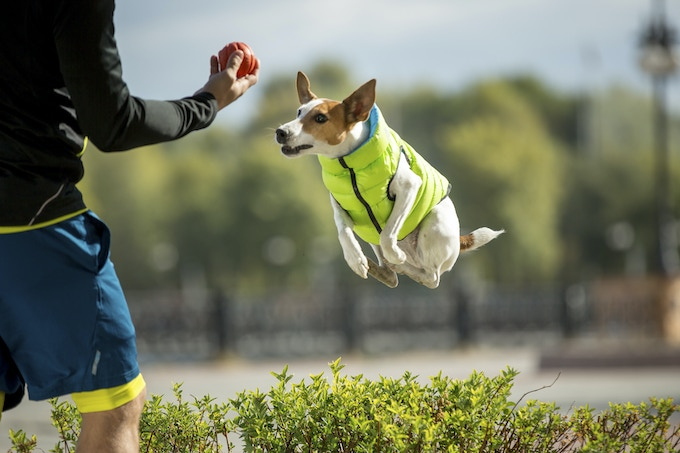 The AiryVest is so light that your dog may forget he's wearing it.