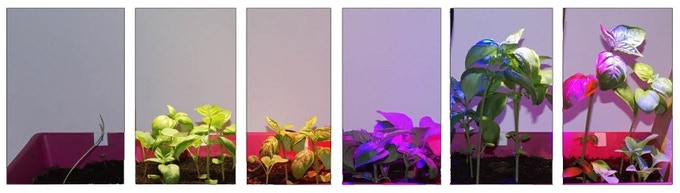 LED wavelength tests on Basil