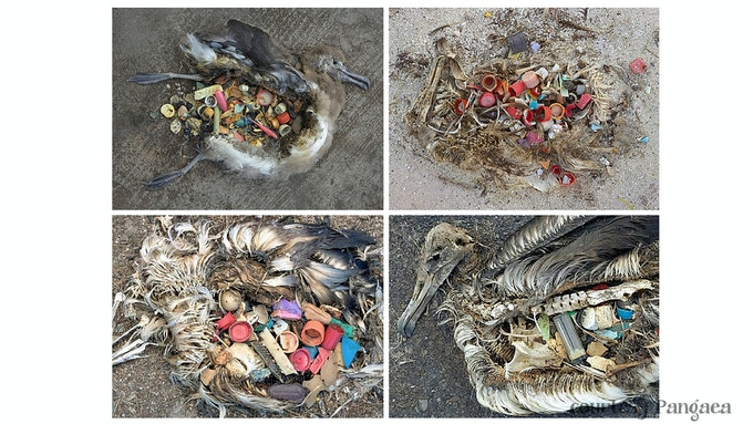 Sea birds so full of lighters and bottle tops that they starve to death because they can't fit any actual food into their stomachs
