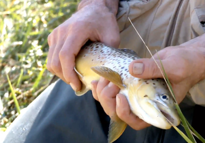 Native New Mexico Brown Trout