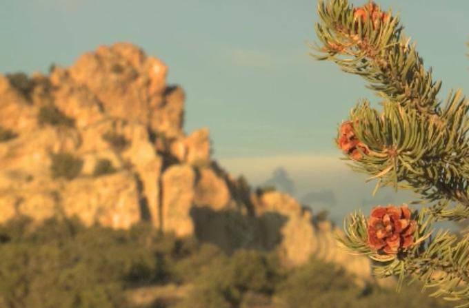 The New Mexico Pinon