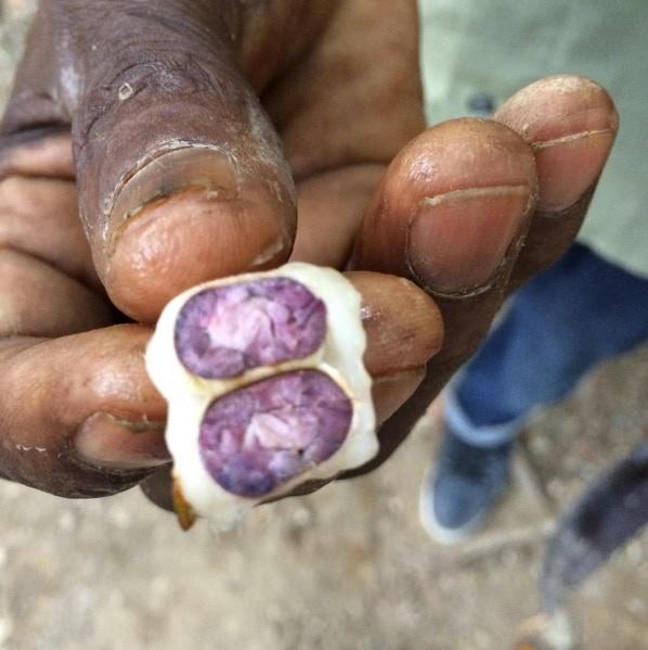 Haitian farmer holding a cacao bean