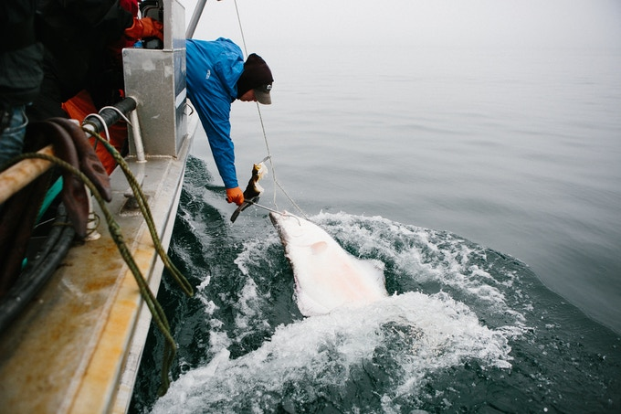 Shaun on the f/v Wind Dancer pulling in a halibut off of St. Paul Island.
