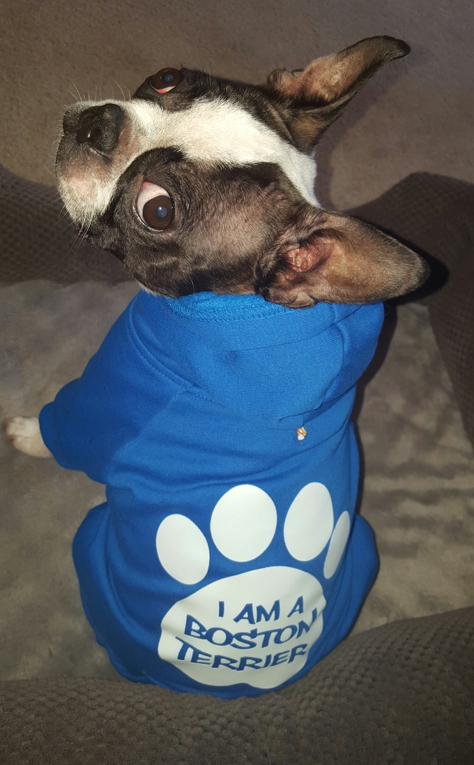 Royal Blue Boston Terrier Hoody