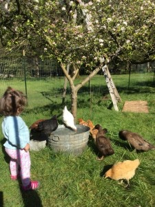 The Chittle Homestead Chicken Family in the fruit orchard