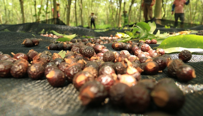 Our community harvesting wild soapberries in the eco-reserves