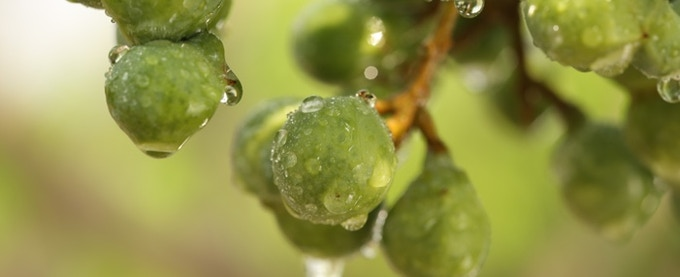 This is the Soapberry, the berry we will change the way we clean with