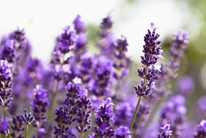 Organically Grown Lavender