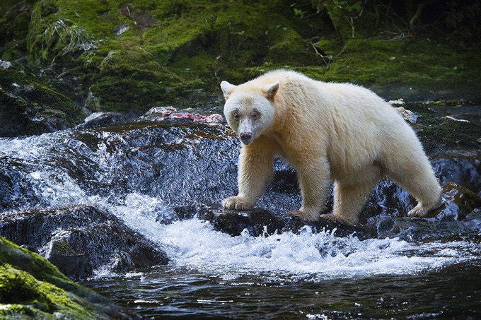 A $25 pledge gets you a stunning Digital Download of National Observer's Spirit Bear photo, and a $30 pledge gets you your very own Spirit Bear poster. Image captured by one of our favourite junior photographers, Sophie Wright, then 12 years old.