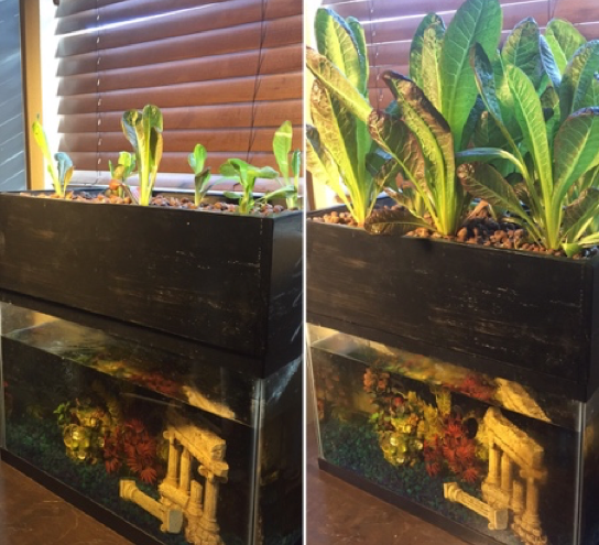 Functional prototype growing plenty of lettuce and teaching valuable lessons