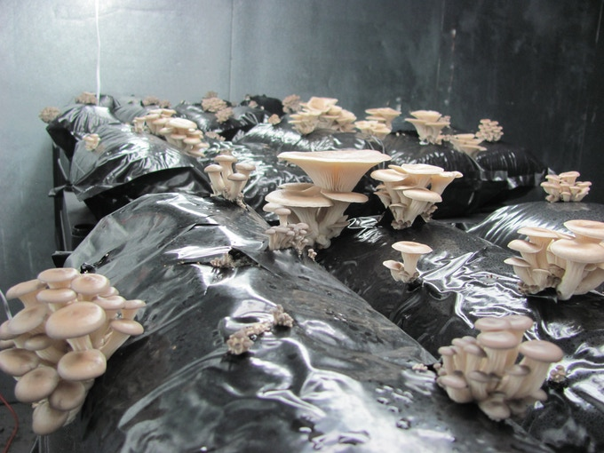 Blue Oyster Mushrooms Growing in our containers
