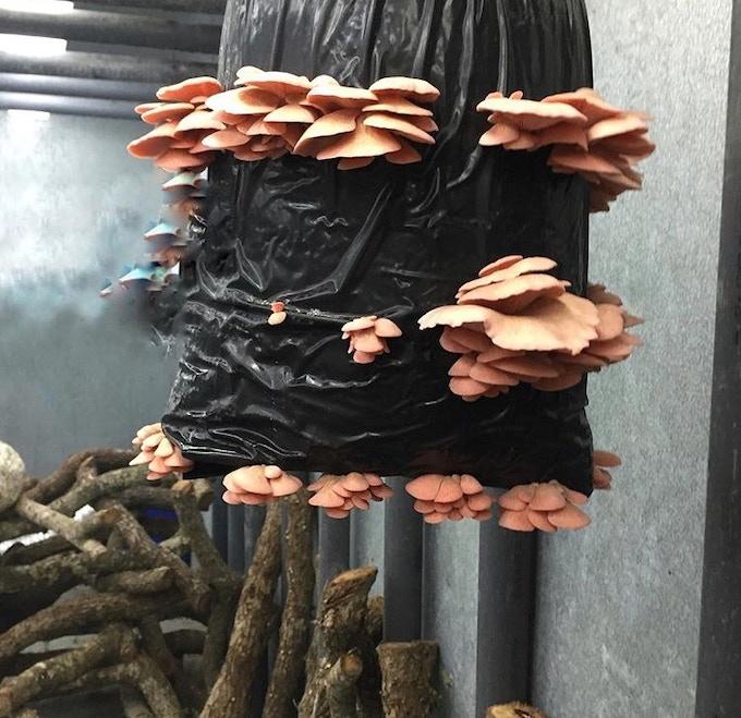 Organic Pink Oyster Mushrooms