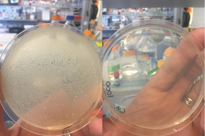 Left: A bacterial lawn formed from both standard bowl samples. Too many bacteria to count                          Right: One CuBowl sample had zero viable bacteria. The other had a small amount of viable bacteria, approximately 1500 CFU per ml