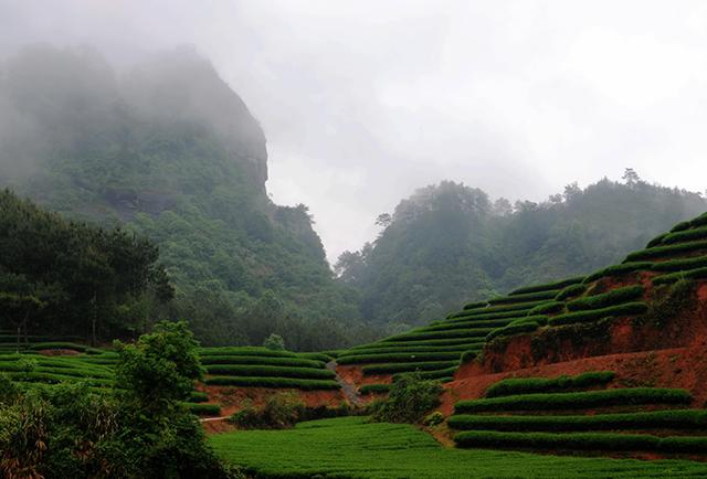 Tea garden in Wuyi, Fujian, China
