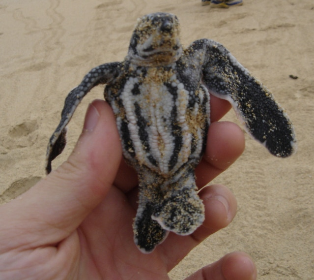 Photo reference of plastron (bottom shell) of Leatherback Hatchling - photo courtesy of Dr. Sam Rivera