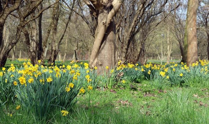 Spring daffodils in Suffolk, England