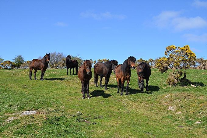 Our Famous Wild Dartmoor Ponies