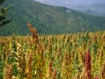 Rain-watered, organically grown. quinoa fields in central Chile