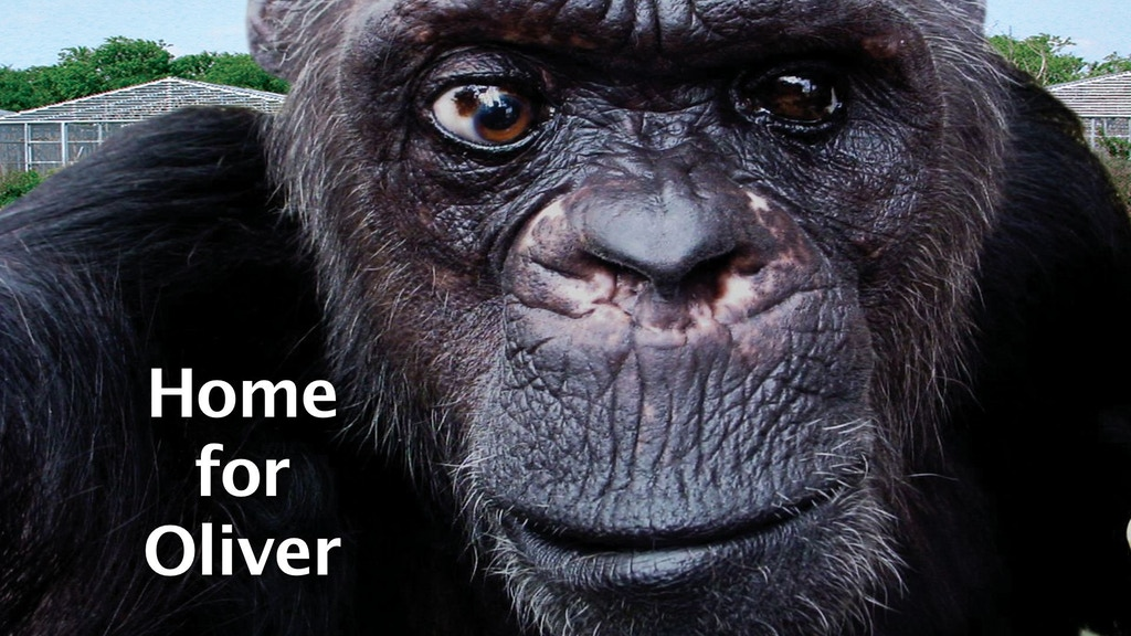 """""""Home for Oliver"""" - a web series about an extraordinary chimpanzee. project video thumbnail"""