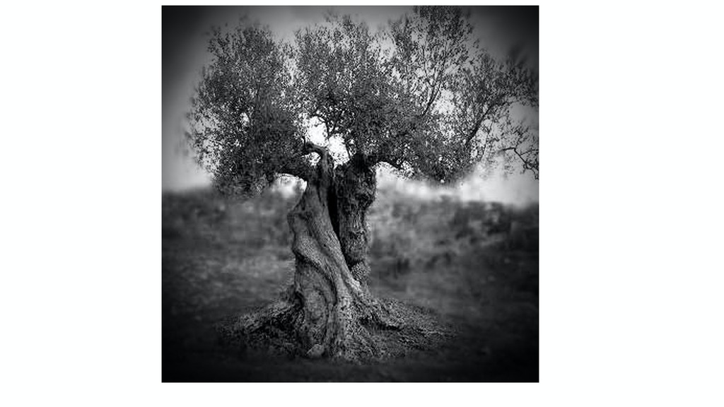 Ancient Olive tree project - pure old school photography project video thumbnail