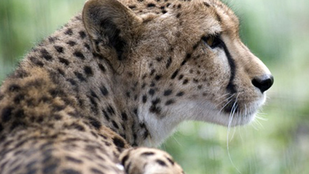 To Save the Cheetah: A Documentary project video thumbnail