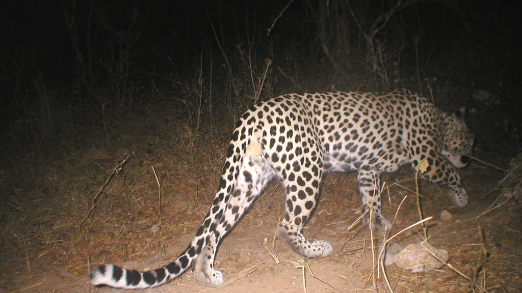 Nightwatch - Catching Arabian Leopards with Camera Traps project video thumbnail