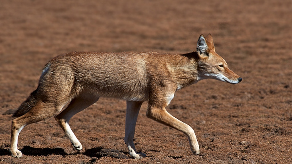 Ethiopian Wolf Documentary Project project video thumbnail