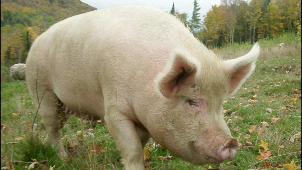 Butcher Shop at Sugar Mountain Farm - Pastured Pigs project video thumbnail