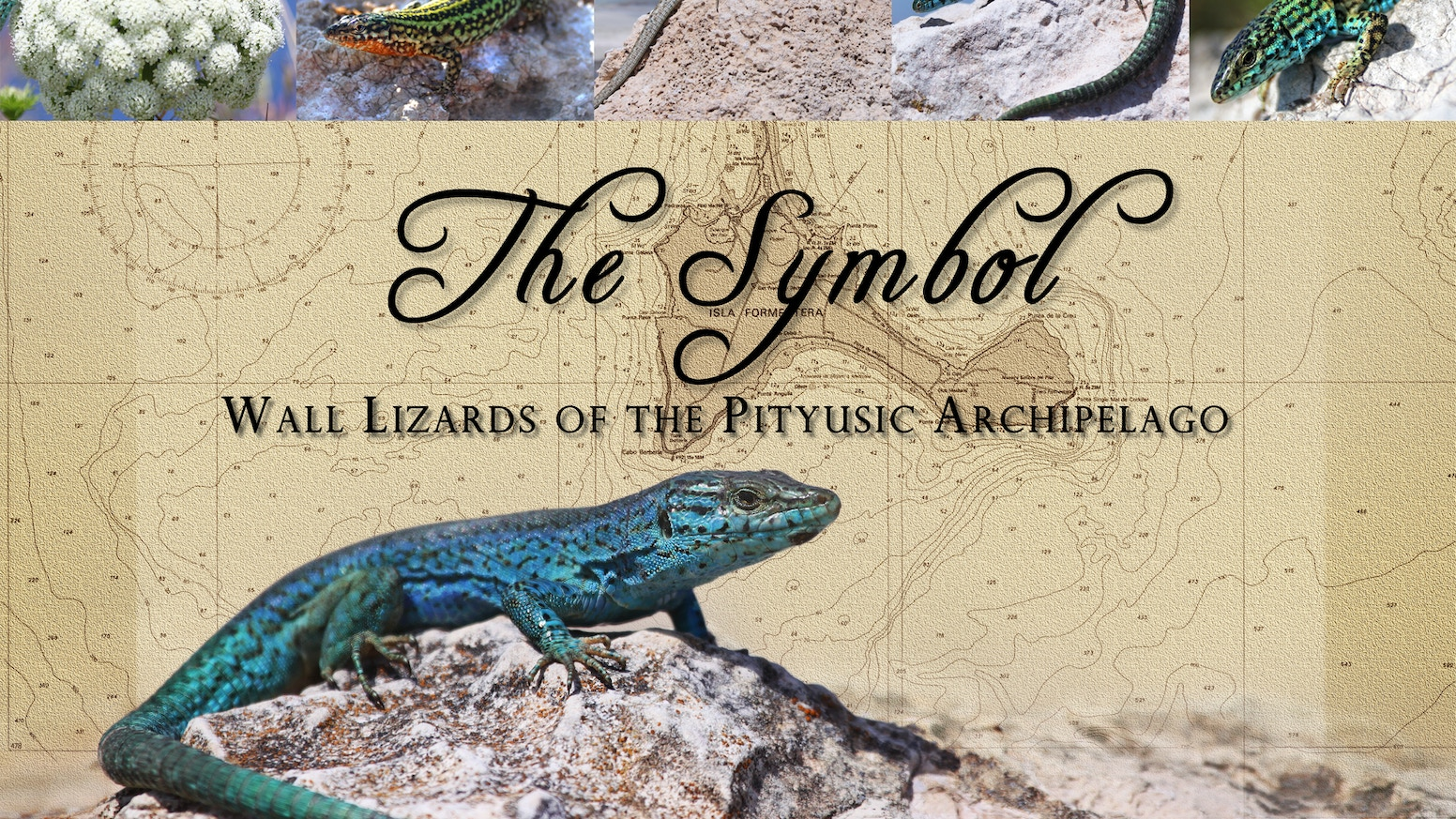 The Symbol: Wall Lizards of the Pityusic Archipelago by Neil