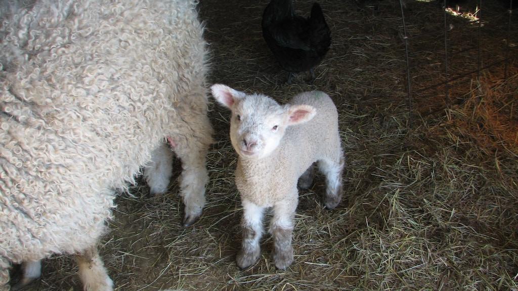 The QT Yarn Farm - a sheep to yarn experience by Christine R Straw