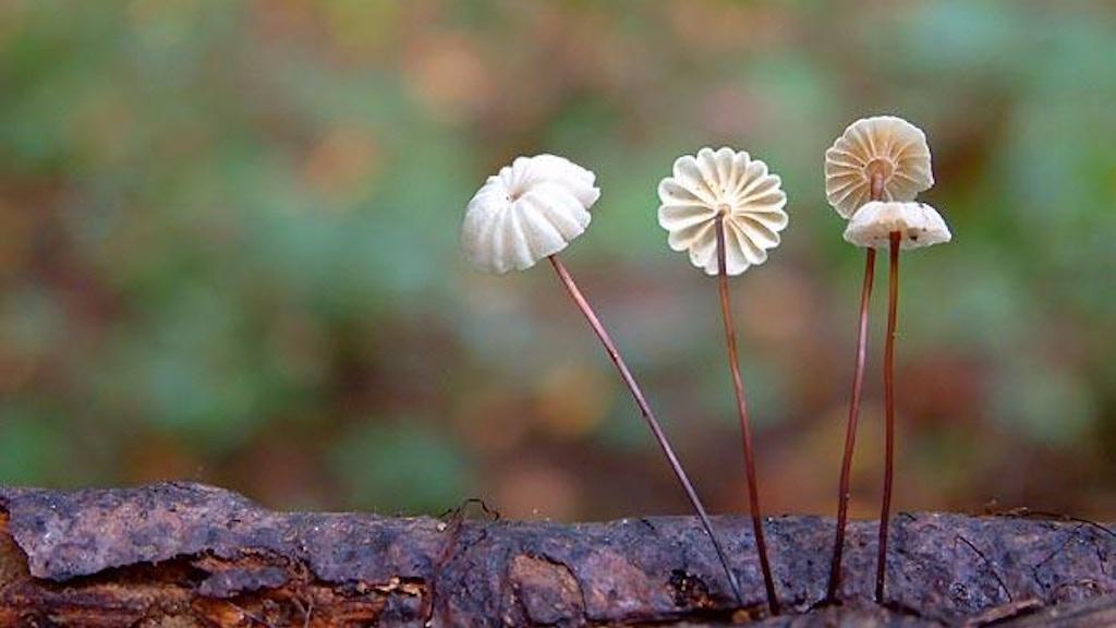 Mushrooms of Madagascar project video thumbnail