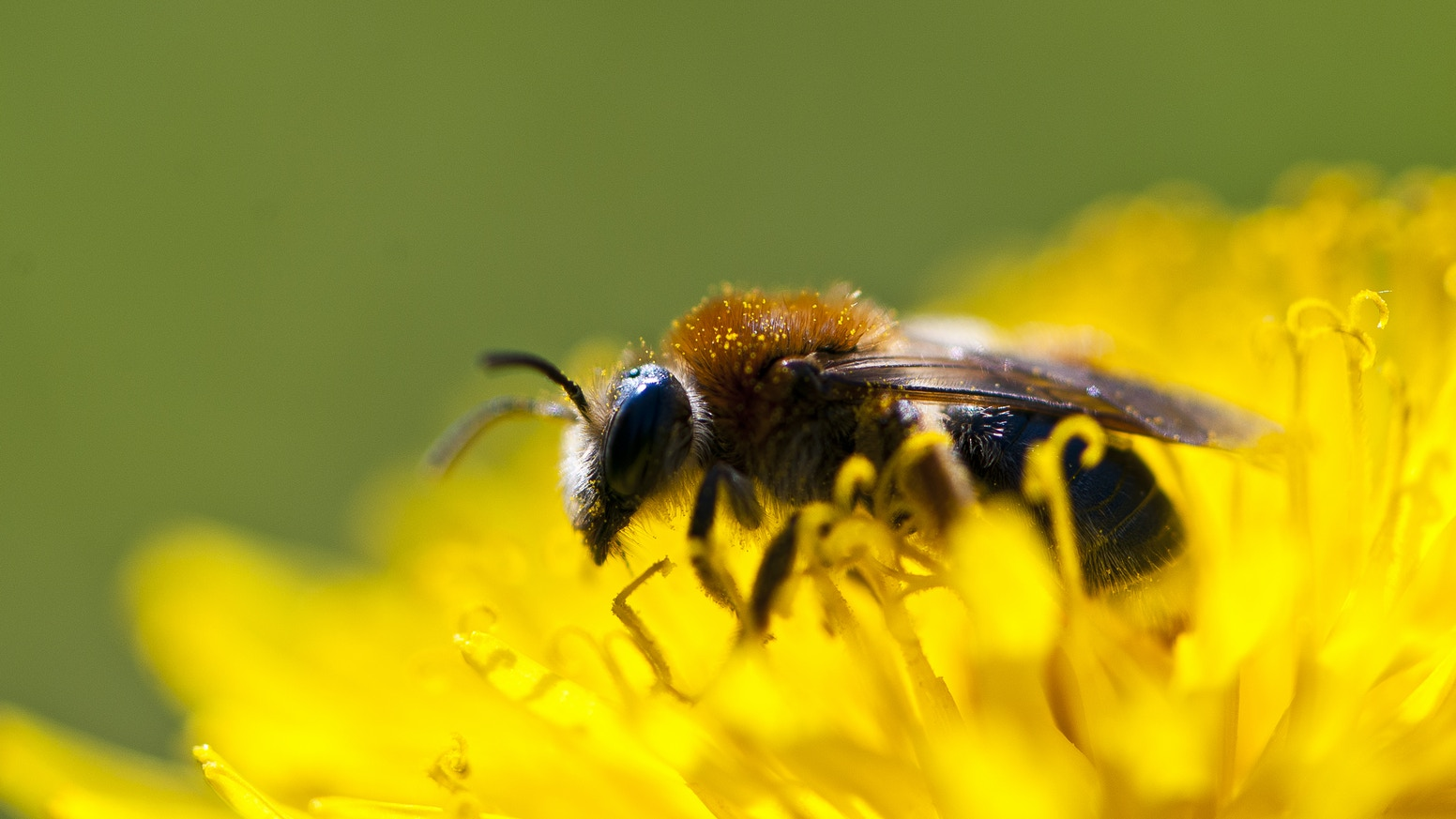 90% of Britain's bees are Solitary Bees. They are crucial pollinators yet are little known or conserved. This film aims to change that.