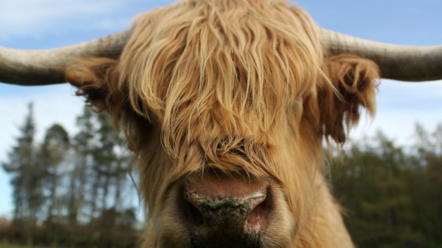 Highland Cow Calendar 2015 By Alan Falconer Kickstarter
