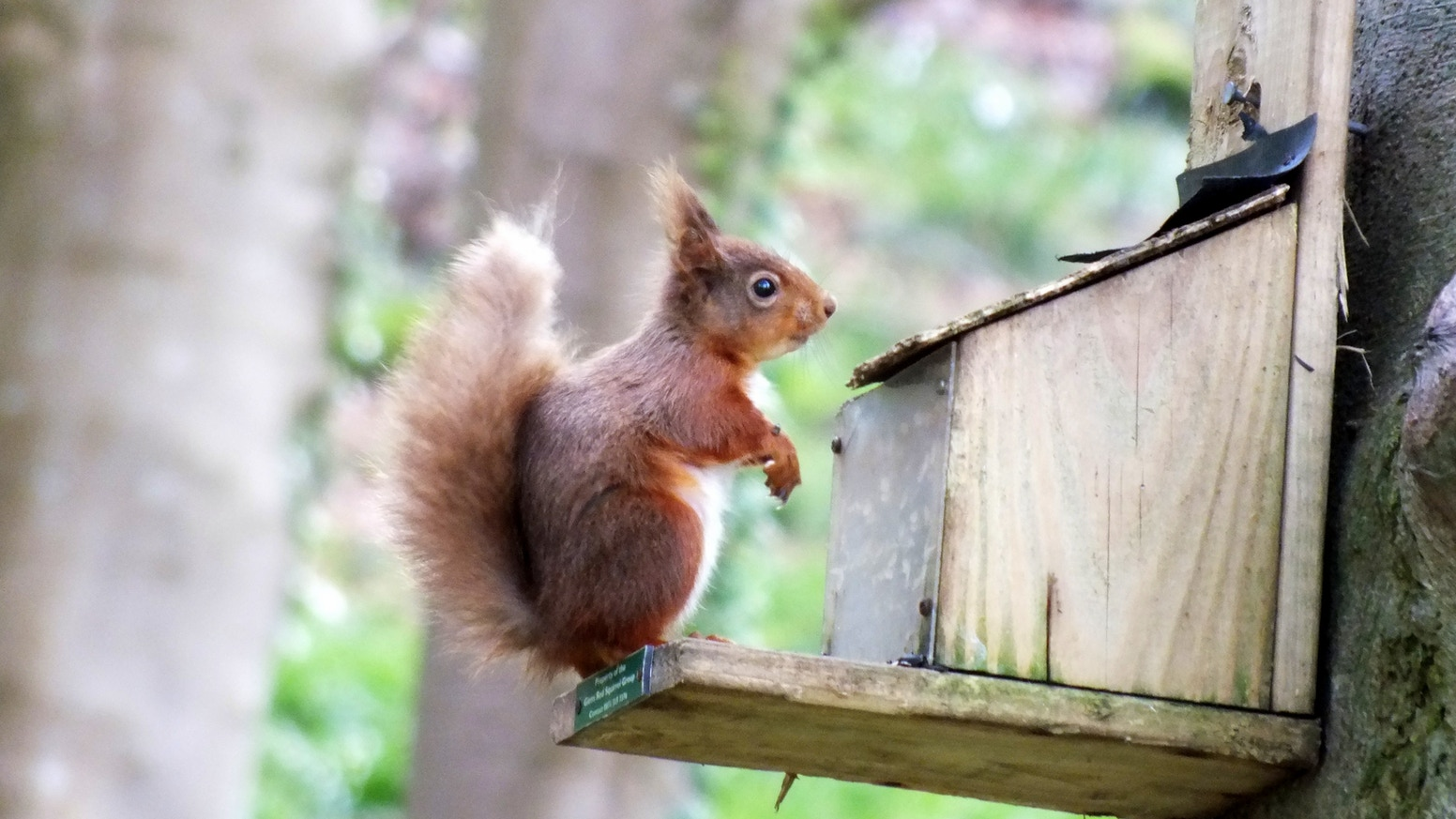 A study investigating whether pine marten have a role in conserving the red squirrel in Britain and Ireland.
