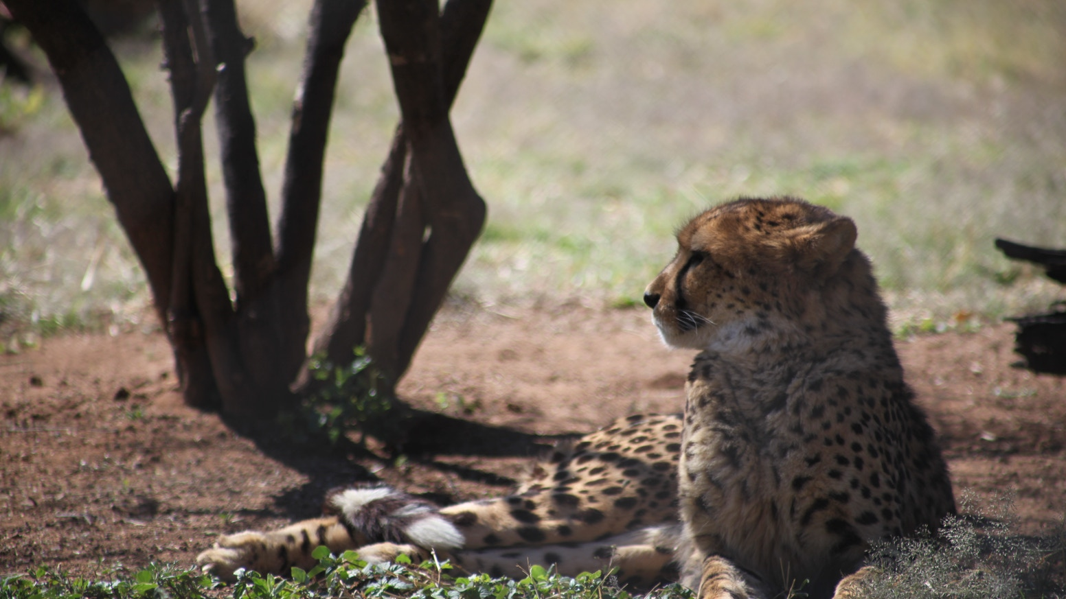69e521868a3c A documentary film that examines the importance of predators (cheetahs and  leopards) in maintaining ecosystem balance in the savanna.