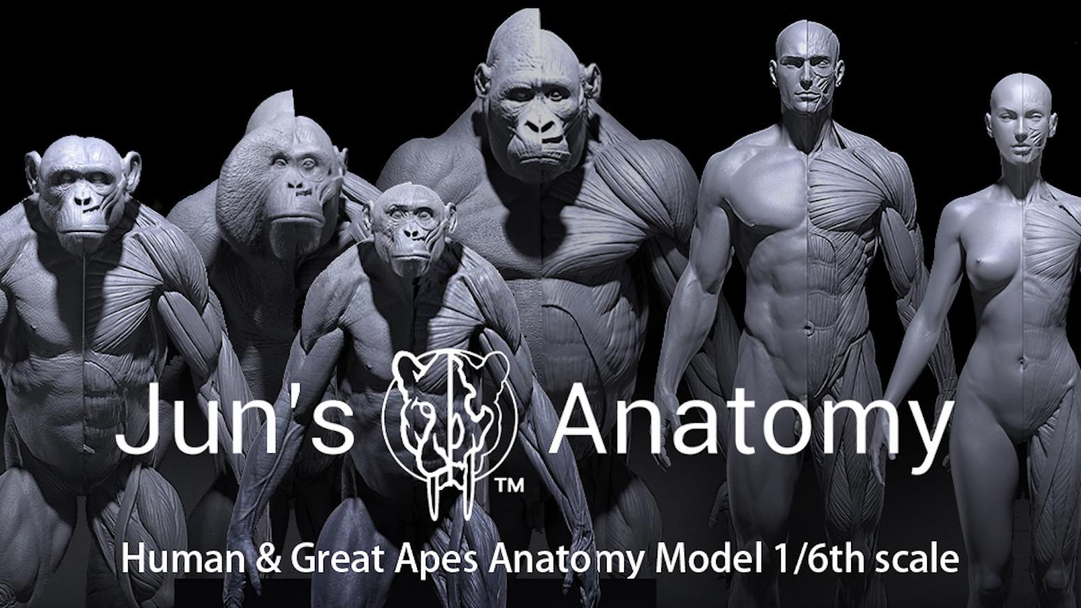 Juns Anatomy Human Great Apes Anatomy Models By Jun Huang